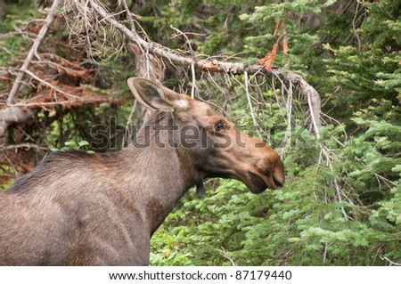 A young moose in Glacier National Park in Montana - stock photo