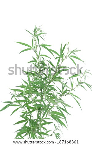 A young new growing cannabis (marijuana) plant. Isolated on a white background. - stock photo