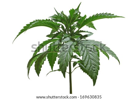 A young new growing cannabis (marijuana) plants isolated on white