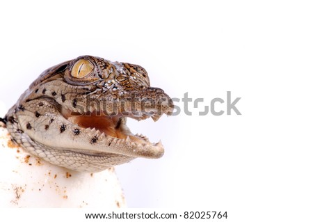 A young nile crocodile hatching from egg