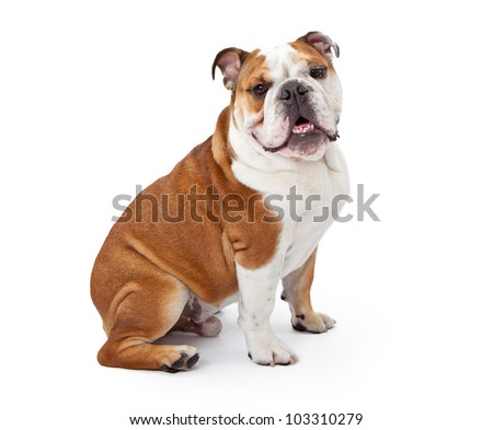 A young nine month old English Bulldog sitting against a white background and looking at the camera Stock photo ©