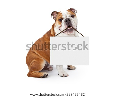 A young nine month old English Bulldog sitting against a white background holding a blank sign in his mouth Сток-фото ©