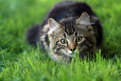 A young Norwegian forest cat playing in the grass