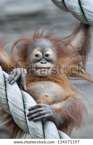 A young orangutan after square meal