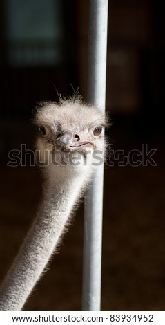 A young ostrich on a farm in Dalarna, Sweden