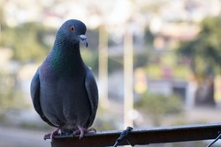 A young pigeon is taking rest on home balcony