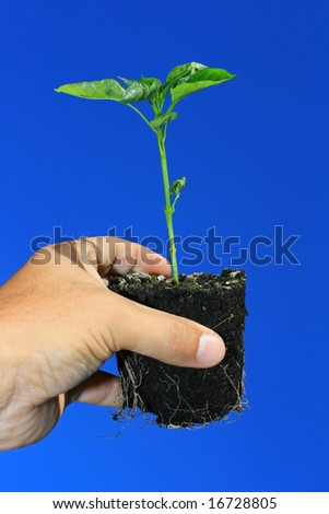 A young plant being held in the hand against a bright blue sky background. Sapling is a young green pepper plant.