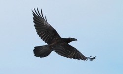 A young raven takes off into the blue sky, top view, close-up.