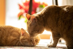 A young red cat and his sleepy brother. Very peaceful, natural light picture. Warm tones and blurry background with apartment plants.