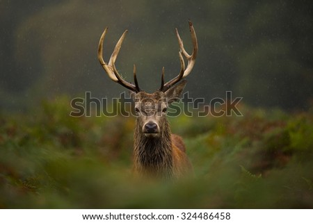 A young Red deer stag. #324486458