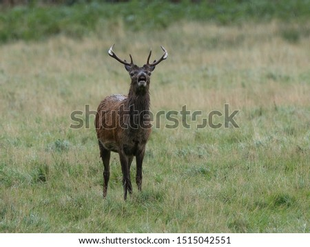 A young Red Deer stag roaring in a rain shower #1515042551