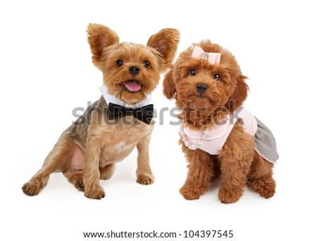 A young red Poodle puppy wearing a pink dress, hair bow and pearl and rhinestone necklace and a Yorkshire Terrier Puppy wearing a black bow tie sitting together against a white background