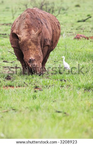 A young rhinoceros feeding on fresh green grass in the Rietvlei Dam nature reserve in South Africa. Rhino is covered in mud to ward of flies and other pests and is accompanied by a white Egret (bird) - stock photo