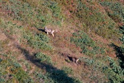 a young roe buck and a female, capreolus capreolus, are standing in a field with blueberries, juniper, heather on the mountains at a autumn morning