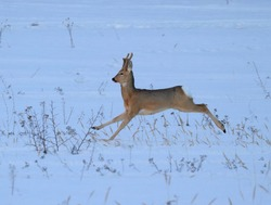 A young roe deer with fresh horns literally flies in a jump over a snow-covered field.