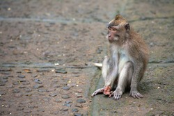 A young sad macaque sits on a stone path with an outstretched hand. Cute monkeys lives in Ubud Monkey Forest, Bali, Indonesia.