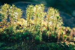 A young sapling of spruce grows in the forest ground with green moss. Sapling spruce planted by nature.  Small coniferous trees. Green sprouts of spruce trees.