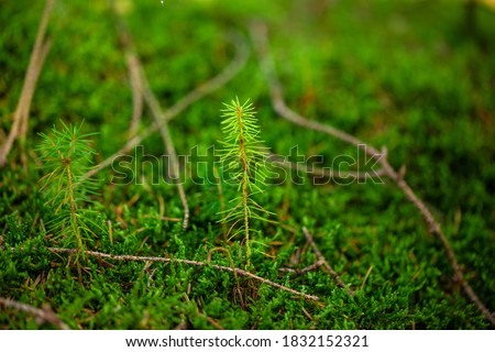 A young sapling of spruce grows in the forest ground with green moss. Sapling spruce planted by nature.  Small coniferous trees. Green sprout of a spruce tree.