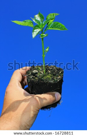 A young sapling plant (green pepper) being held in a hand, set against a bright clear blue background.