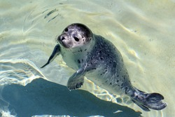 A young seal in the water