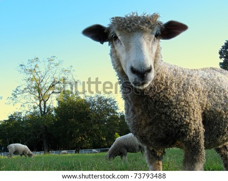 A young sheep stands in a green meadow under a blue sky, gazing directly at the viewer, very close-up.