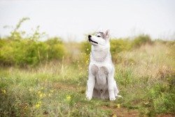 A young Siberian Husky is sitting at a pasture. The dog has grey and white fur; his eyes are brown. There is a lot of grass, green plants, and yellow flowers around him; the sky is grey.