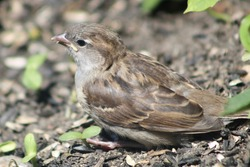 A young sparrow fledgling roosting in a the dirt below the bird feeders. The female house sparrow fledgling is sitting on top of the fallen sunflower seeds with seedlings peeking out of the ground.