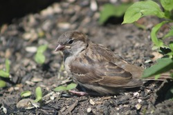A young sparrow fledgling roosting in a the dirty below the bird feeders. The female house sparrow fledgling is sitting on top of the fallen sunflower seeds with seedlings peeking out of the ground.