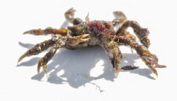 A young spider crab (Maja squinado) covered in seaweed isolate on a white background.