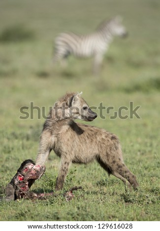 A young Spotted Hyena (Crocuta crocuta) with a wildebeest skull in the Ndutu area of the Ngorongoro Conservation area, Tanzania
