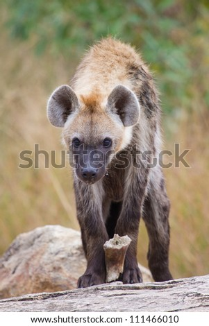 A young spotted hyena gripping a piece of bone between its paws