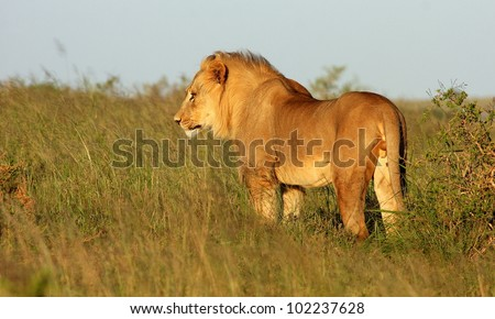 A young sub adult male tawny lion standing in a side on pose in this portrait taken at a low angle in Addo elephant national park,Eastern Cape,South Africa - stock photo