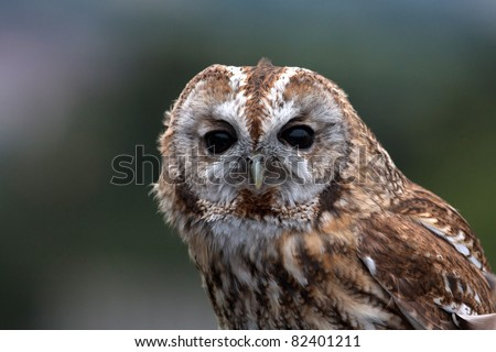 A young tawny owl looking at the camera England UK