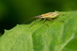 A young, teneral adult Meadow Plant Bug is resting on a green leaf. A native of Eurasia, it is invasive in North America. Taylor Creek Park, Toronto, Ontario, Canada.