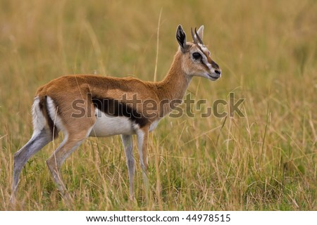 A Young Thomson Gazelle In Africa Stock Photo 44978515 ...