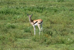 A young Thomson's gazelle in field.