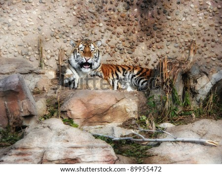 A young tiger cub reacting to people at the zoo while trying to rest.