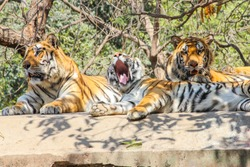 A young Tiger cub yawning, Indian Tiger family sitting on rooftop in jungle and looking for hunt or prey,Indian national animal Tiger Family in zoo park background Image