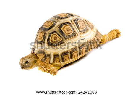 a young tortoise - Geochelone Pardalis - on the white background - close up