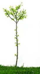 a young tree