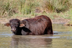 A young water buffalo takes refuge from the heat of the midday sun in the cool water of the small lake.
