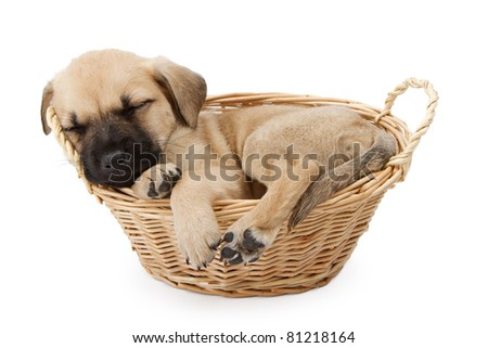 A young 7 week old German Shepherd puppy in a basket isolated on white