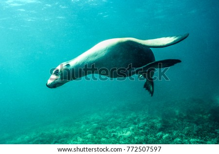 A young Western Australian sealion turns in front of the camera - Jurien Bay, Western Australia. #772507597