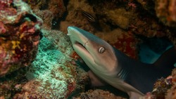 A young white tip shark wakes up from a dream and looks out from under the coral.