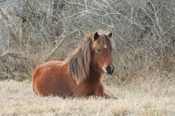 A young wild horse resting in the dry grass, on a cold winter's day, Assateague Island, Maryland.