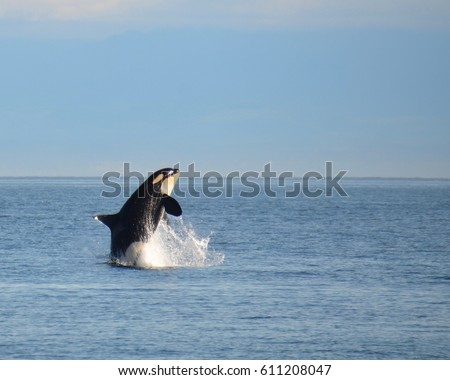 A young wild killer whale of the Southern Resident Community of orcas breaches in playful exuberance.