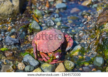 A yummy Dungeness red crab sitting on the a pebble beach waiting to be harvested for a yummy summer vacation beach side meal; or perhaps a scrumptious restaurant or fine dining dish.