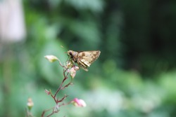 A Zabulon Skipper Butterfly on a Heuchera Flower