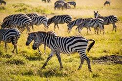 A Zeal of Zebras in the Masai Mara Safari in Kenya