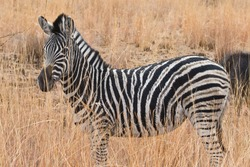 A Zebra amongst the long-grass in Pilanesberg National Park, South Africa.